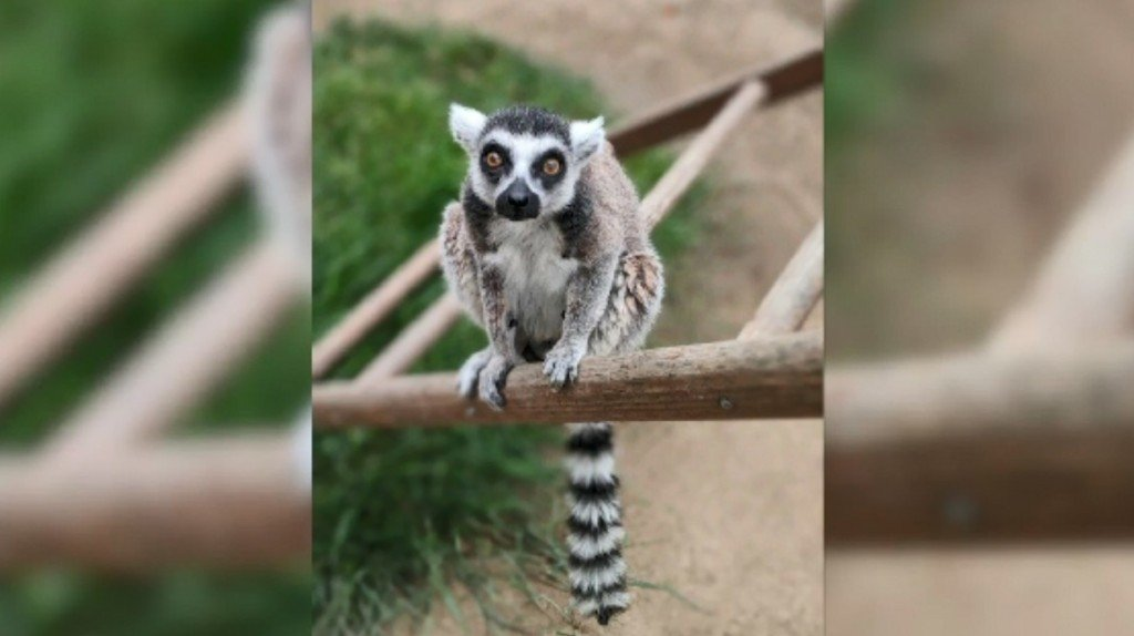 Teen who stole endangered lemur from zoo sentenced to federal prison