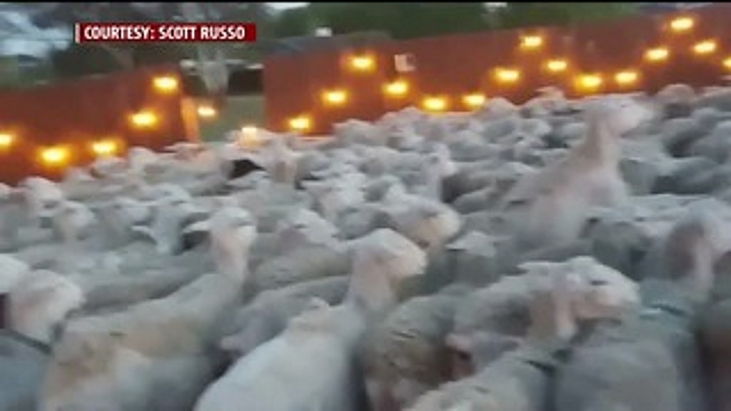 Video shows family trying to get sheep out of back yard