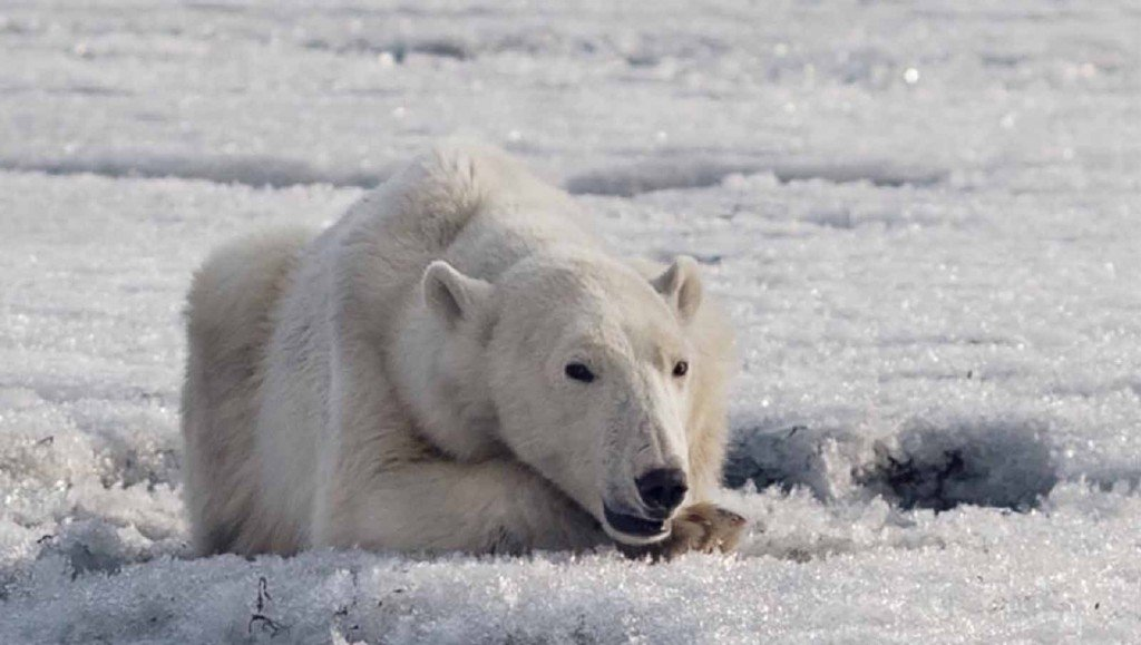 Dozens of polar bears 'crowding' Russian village in search of food