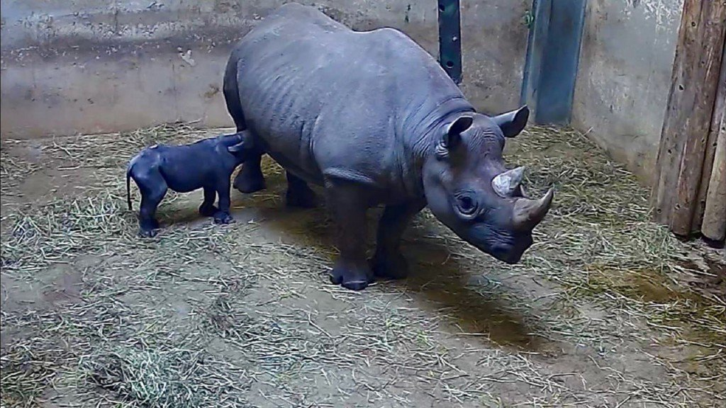 Rare eastern black rhinoceros born at Chicago zoo