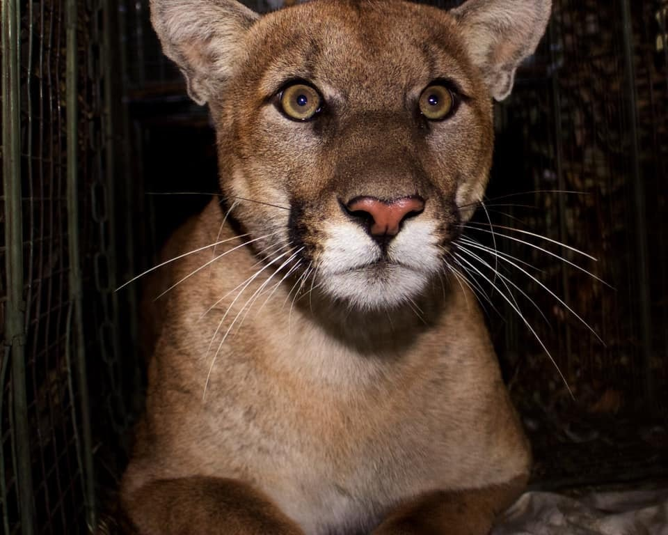 Mountain lion known for crossing 405 killed on same Los Angeles freeway