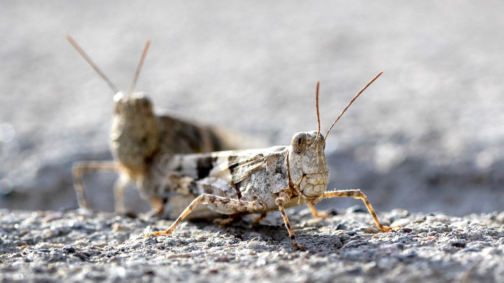 Las Vegas' grasshopper invasion so big it can be seen on weather radar