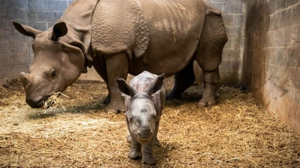 Rhino calf born at Buffalo Zoo