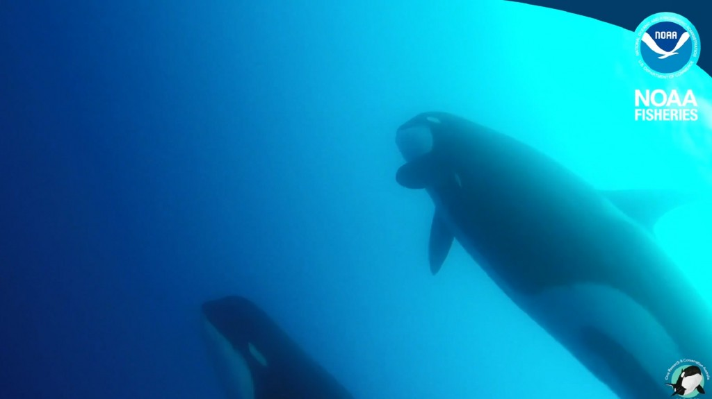 Scientists have found what may be new kind of killer whale