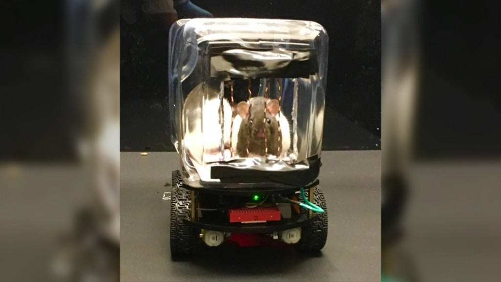 Rats learn to drive rat-sized cars, which may help human mental health