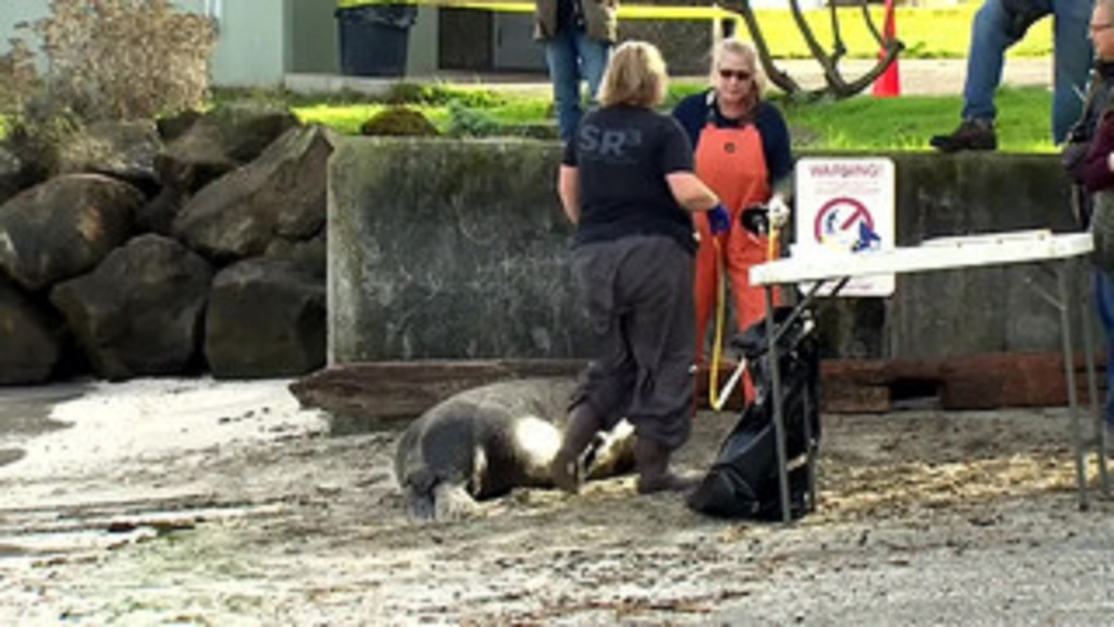 Dead sea lions with gunshot wounds are washing up in Puget Sound