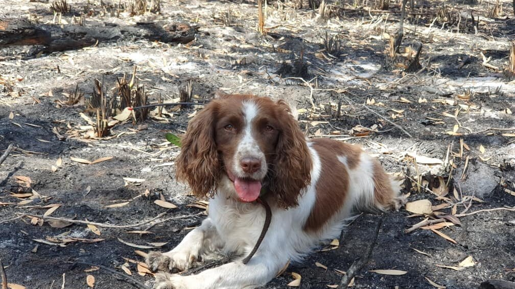 Koala-sniffing dogs on mission to save animals in Australia bushfires