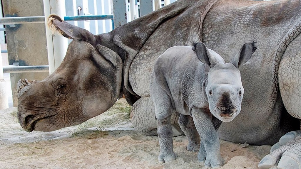 Rare rhino born by artificial insemination at Miami zoo