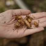 Days Away? Trillions Of Cicadas About To Emerge