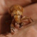 Nature At Its Craziest: Trillions Of Cicadas About To Emerge