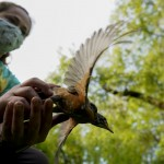 For Love Of Birds: Backyard Sleuths Boost Scientists' Work