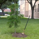 Shovel In Ground Next To Newly Planted Tree