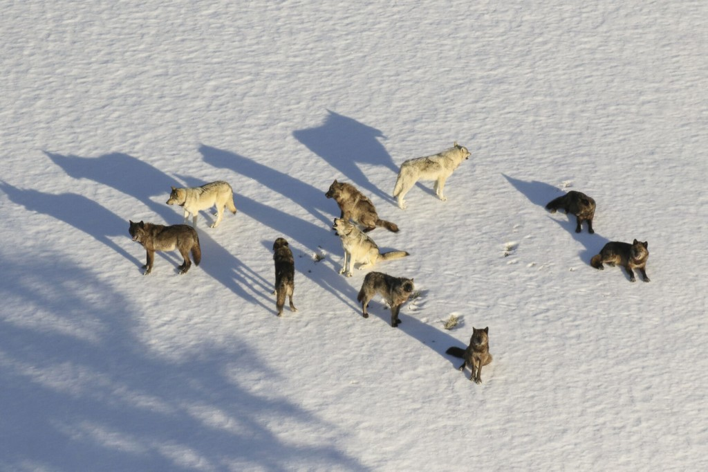 3 Yellowstone Wolves Killed In First Week Of Montana Hunt