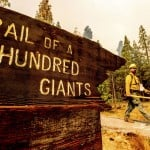 4 Famous Giant Sequoias Unharmed In California Fire