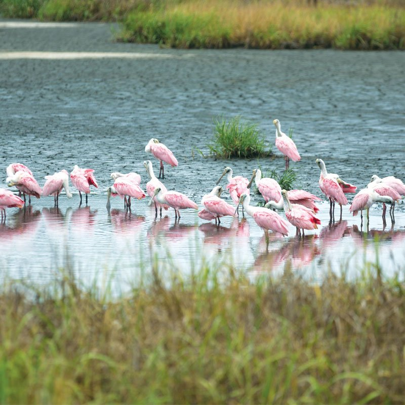 Comic Beauties: Roseate spoonbills along Georgia's coast