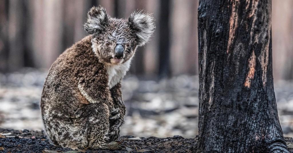Koala V2 Colour