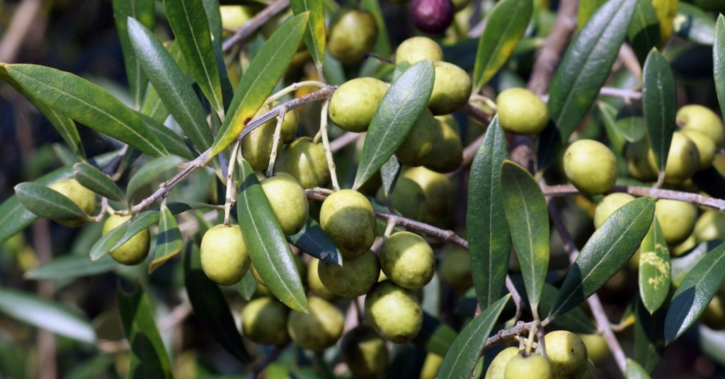 Georgia Grown Olives