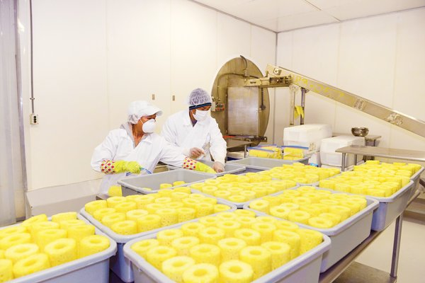 Most of the 5 million pineapples harvested annually by the Maui Gold Pineapple Co. are sold as whole fruit, but flash freezing chunks has opened new markets in Japan and elsewhere. Photo: Steve Brinkman Photography