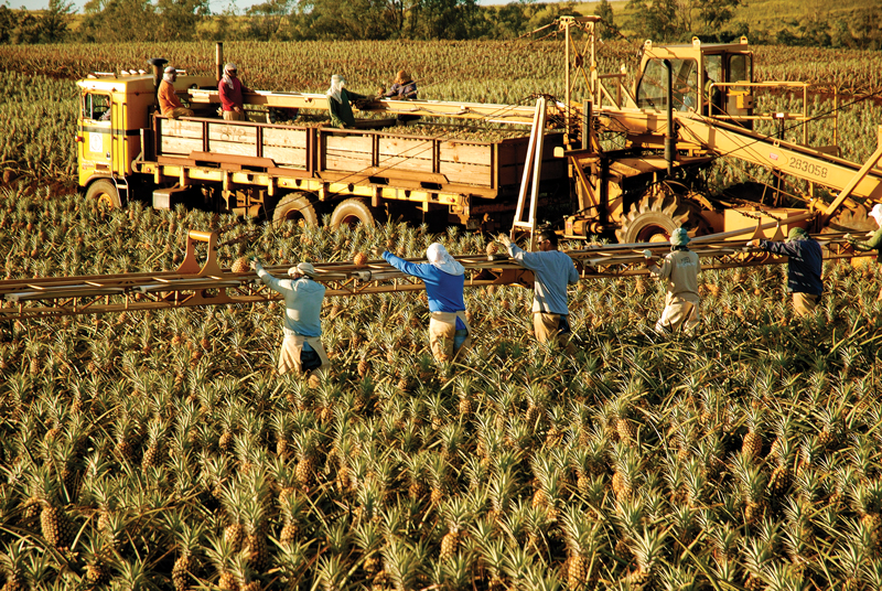 The Maui Gold Pineapple Co. does not own exclusive rights to the Maui Gold variety, which was developed at UH in the 1970s. However, president Darren Strand says the company's plantation is ideally suited to grow that sweet, lower-acid version of pineapple. Photo: Steve Brinkman Photography