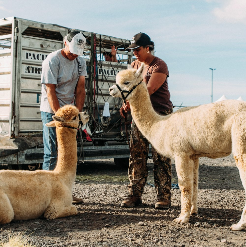 Big Island breeders and apirport personnel worked together after the arrival of the alpacas at Kona International Airport.