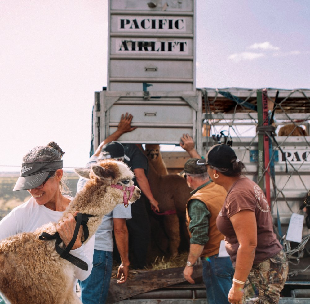 Christine Hustace helps unload alpacas from a crate after they flew to Hawaii Island from Oregon. Hustace partnered with two other Big Island breeders to bring in the animals.