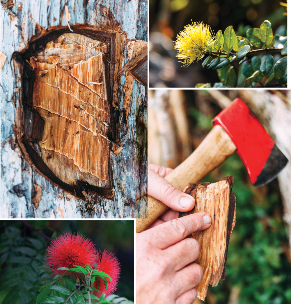 Top left and bottom right: Pieces of ohia are cut through to show ravages of the disease. The two other pictures show ohia flowers. Ohia wood photography by Megan Spelman. Ohia flower photos: Thinkstock.com