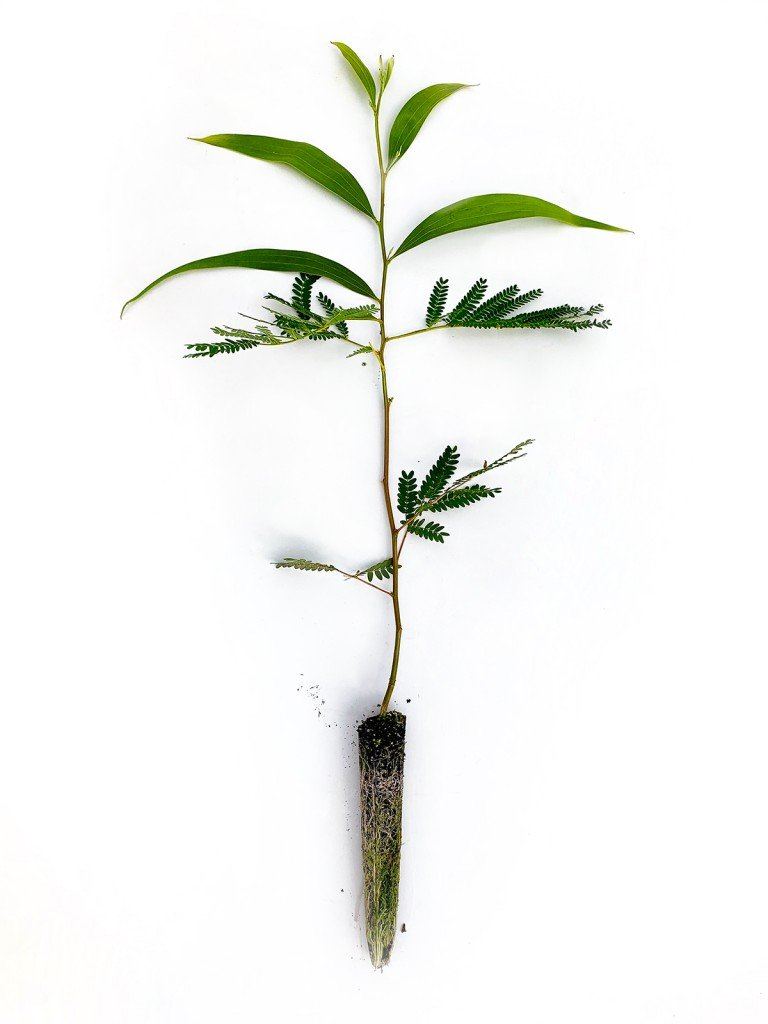 A 5-month-old 24-inch koa seedling ready for planting. The lower leaves are in a juvenile stage, while the upper leaves have transitioned to the more recognizable koa leaf shape. Photo courtesy of Native Nursery