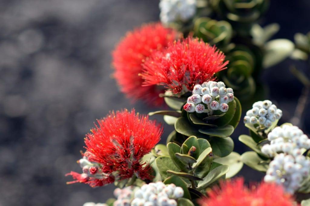 Blazing Blooms Of Ohia Flowers