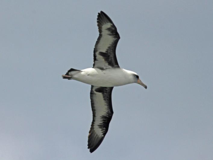 2560px-Laysan_Albatross_RWD4a