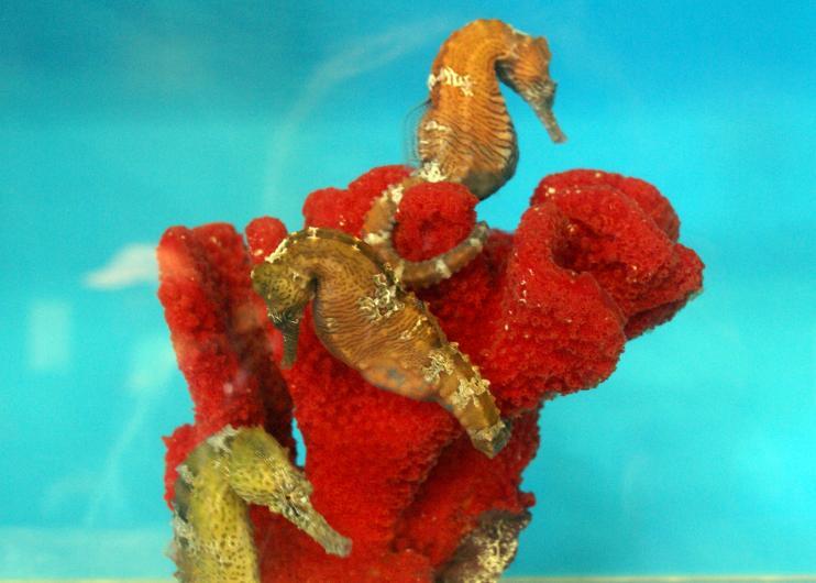 seahorses-hawaii-aquarium