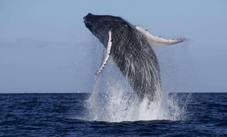 hawaii-humpback-whale-season