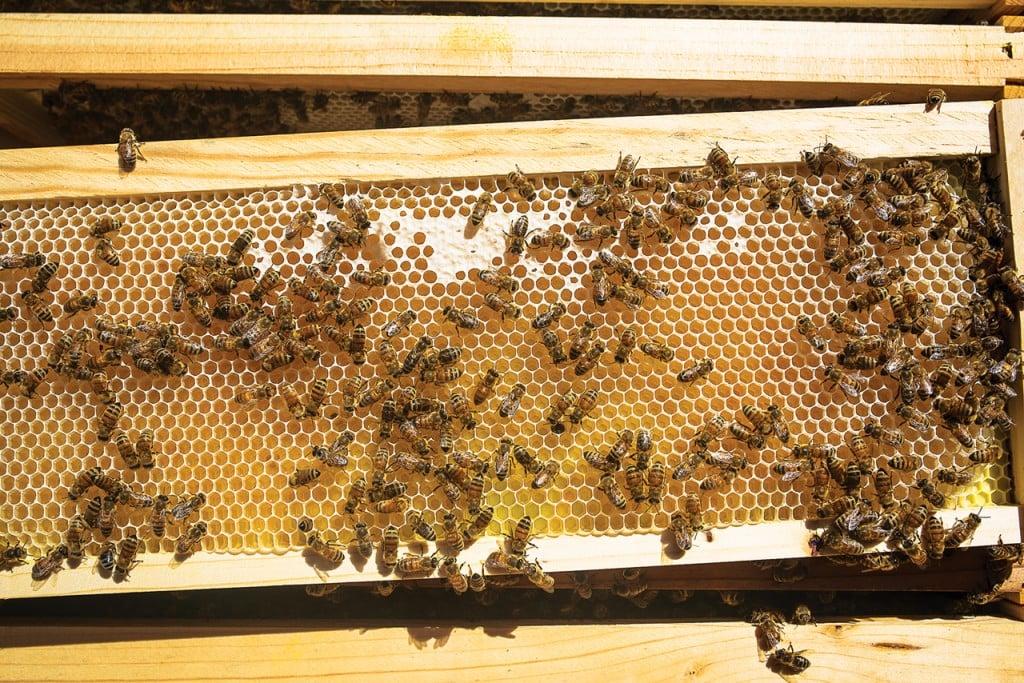 Bees1_Fahl