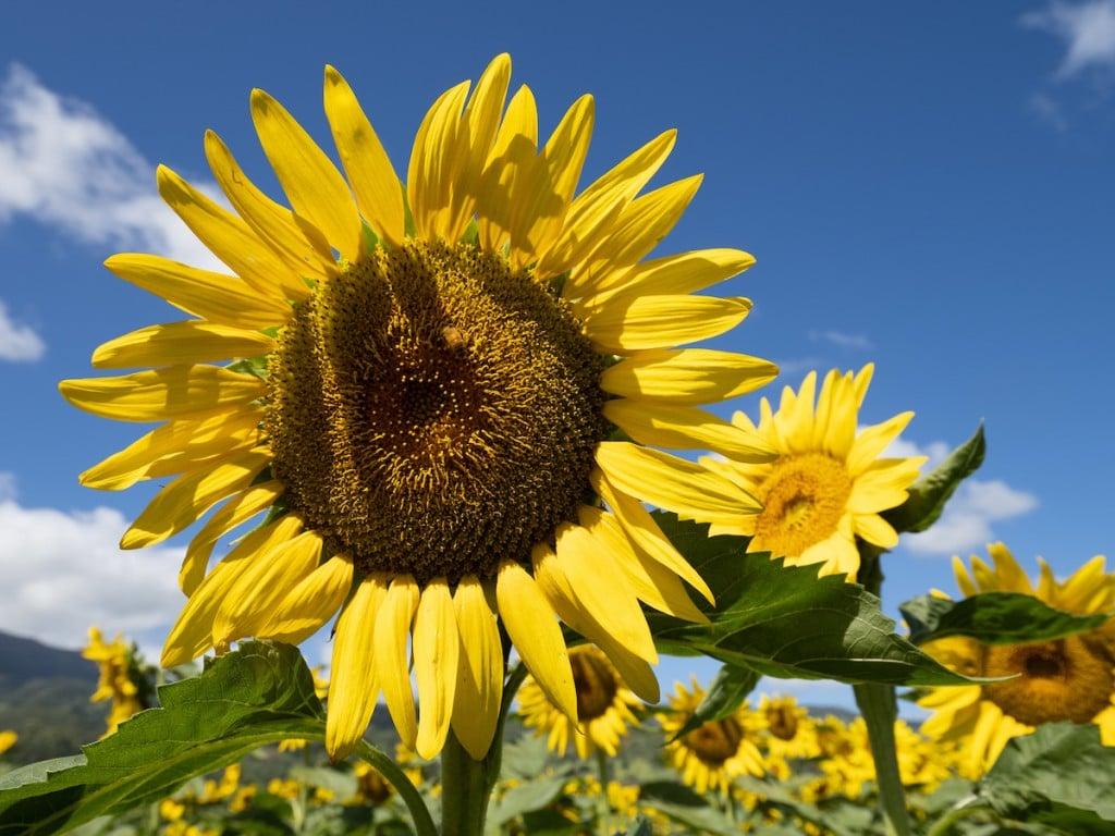 HN1908-dc-Sunflowers-0428