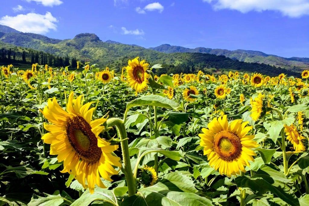 Waialua sunflowers
