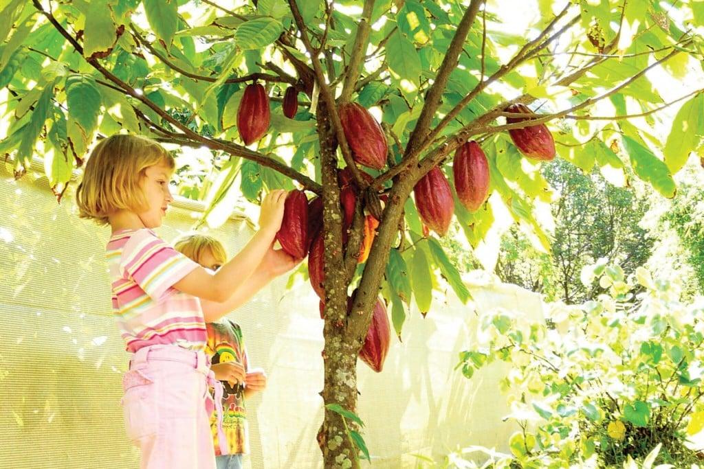 Lydgate Farms on Kauai Cacao