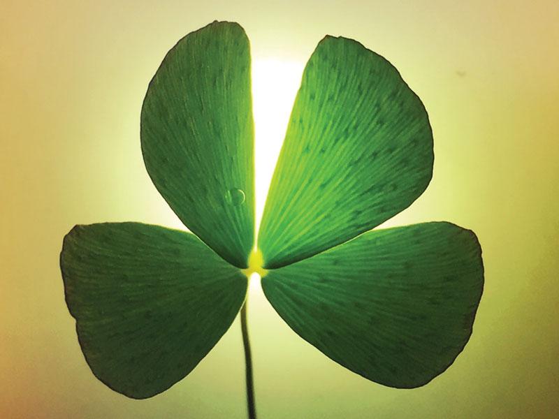 Four Leaf Clover Hawaii