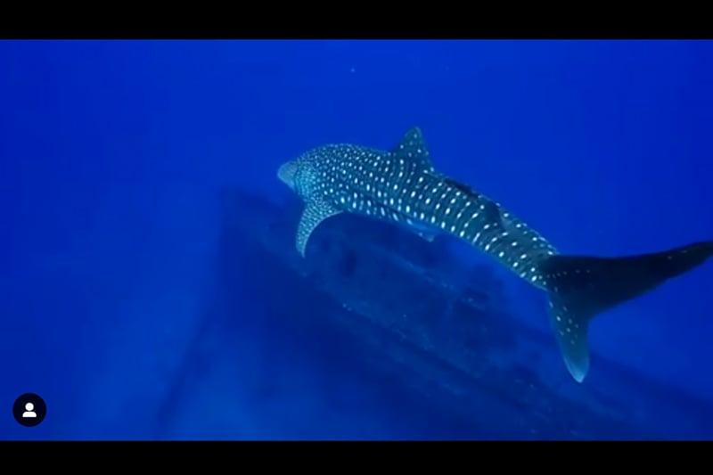 TerryFlanagan-whaleshark