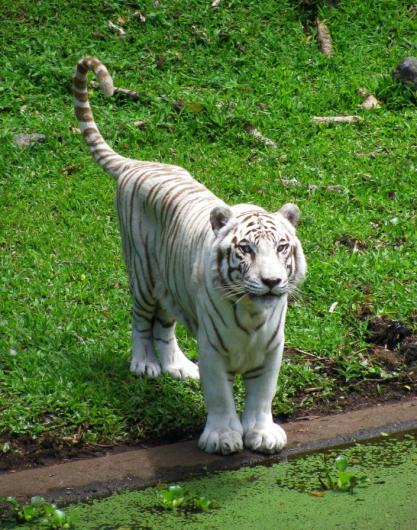White Tiger Namaste 1