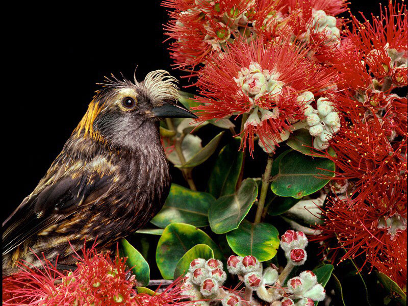 bird-with-red-ohia-hed