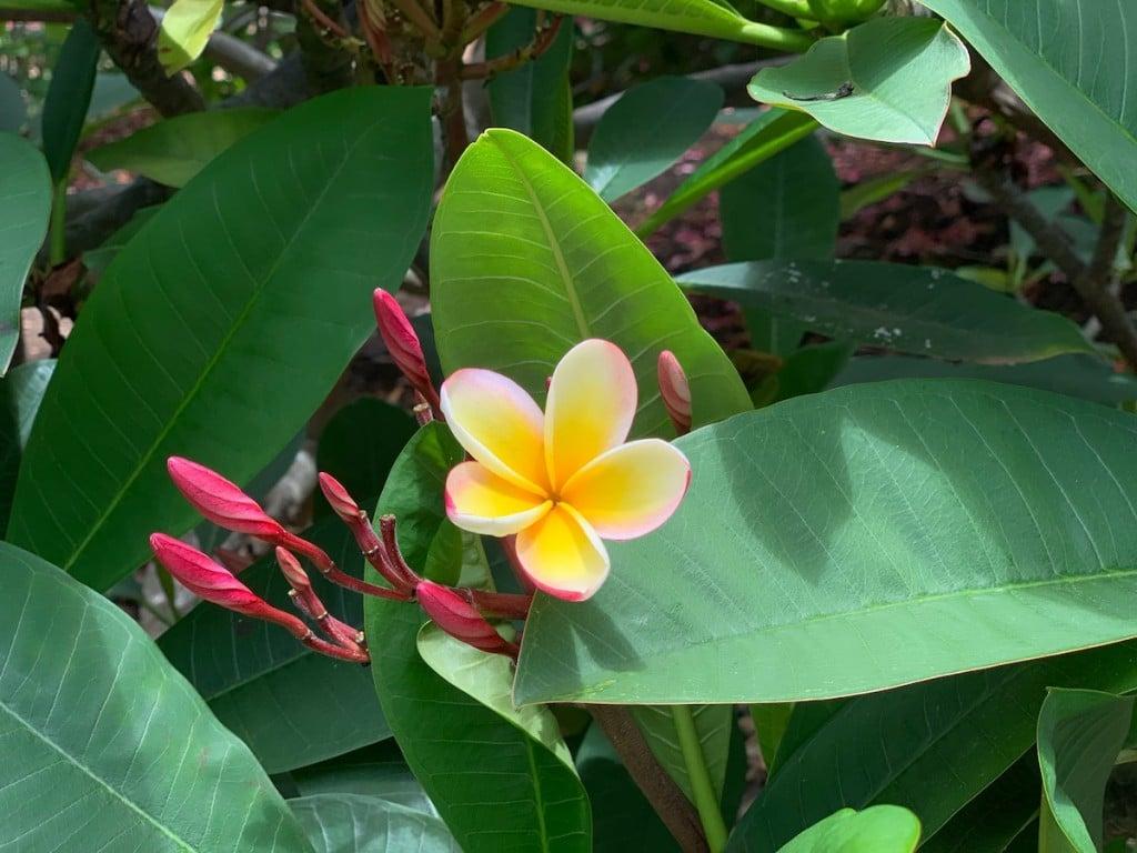 kokobotanical-plumeria
