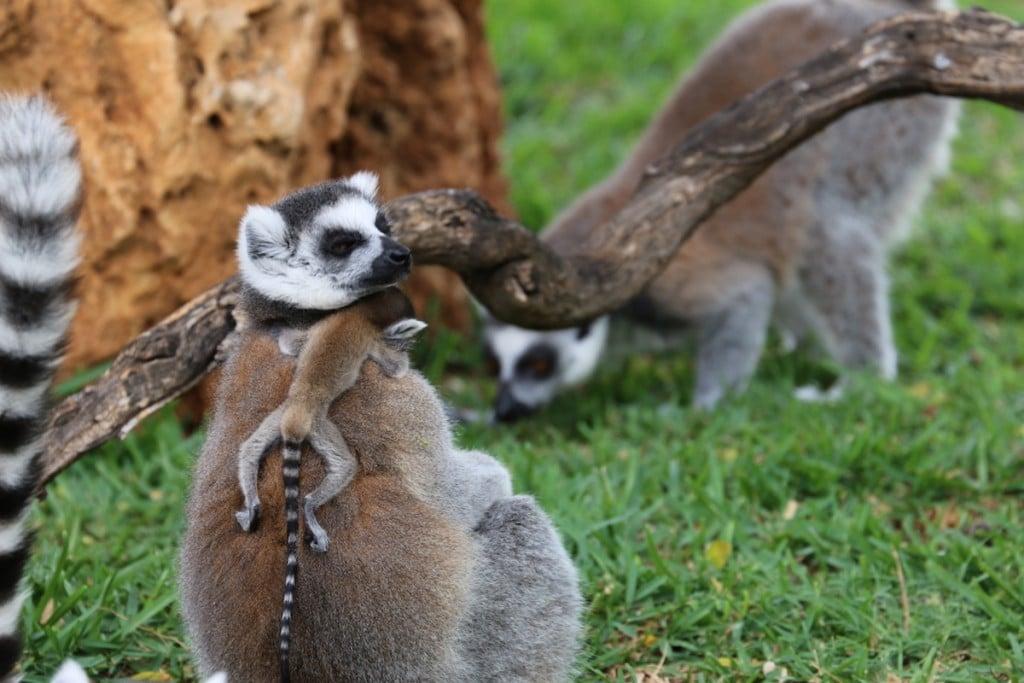lemurs-opener