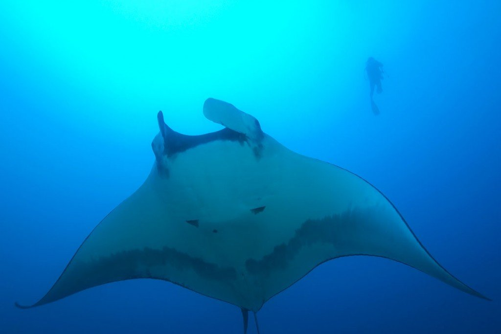 manta-ray-ThinkstockPhotos-95478971