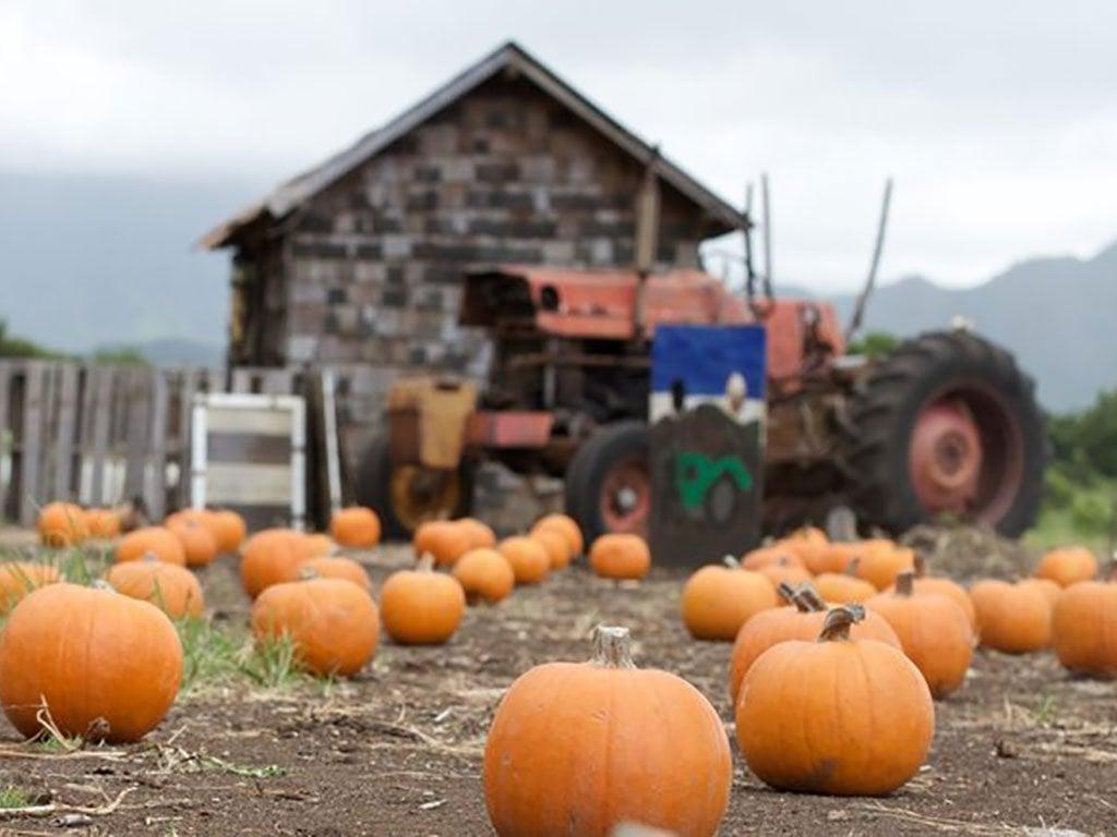 pumpkinpatch-waimanalo