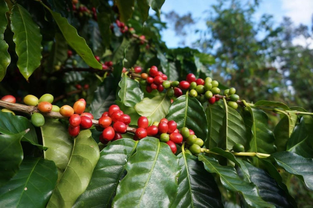 shop-bigislandcoffee-tree2