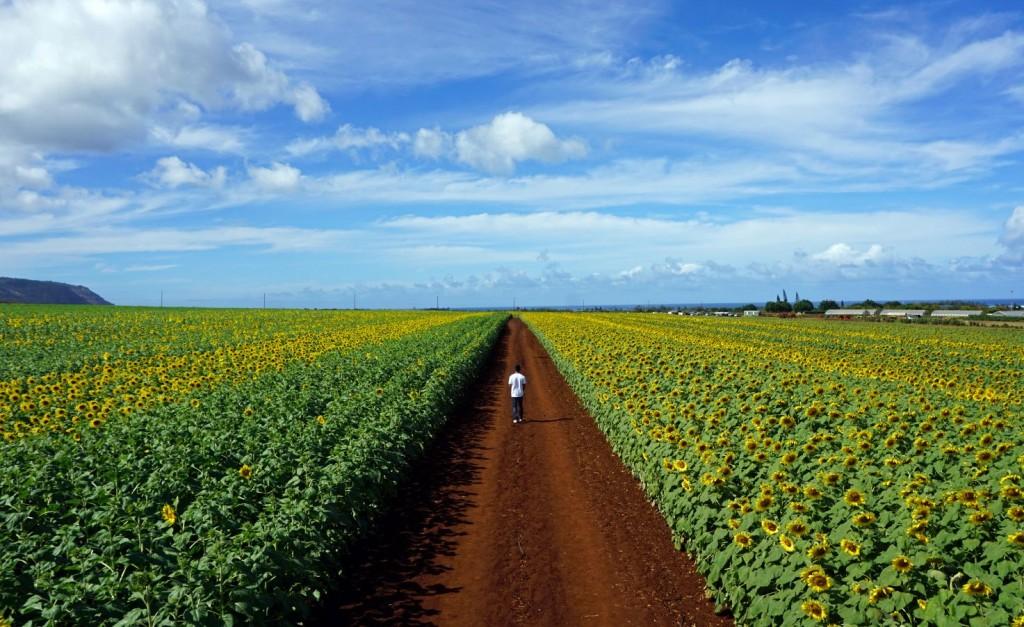 north shore sunflower fields