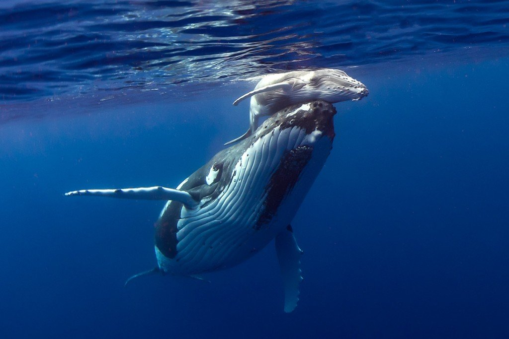 whale-calf-and-mom-howardchen-GettyImages-861493418
