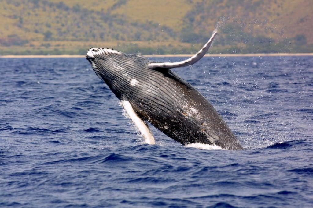 NOAA humpback Whale