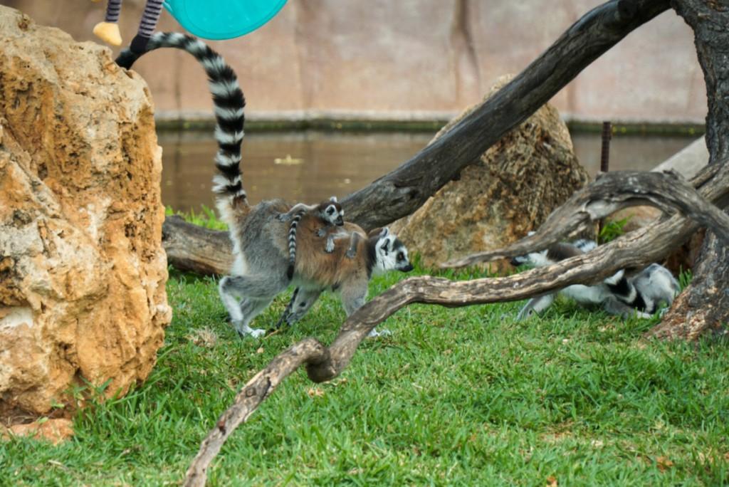 zooreopen-lemur