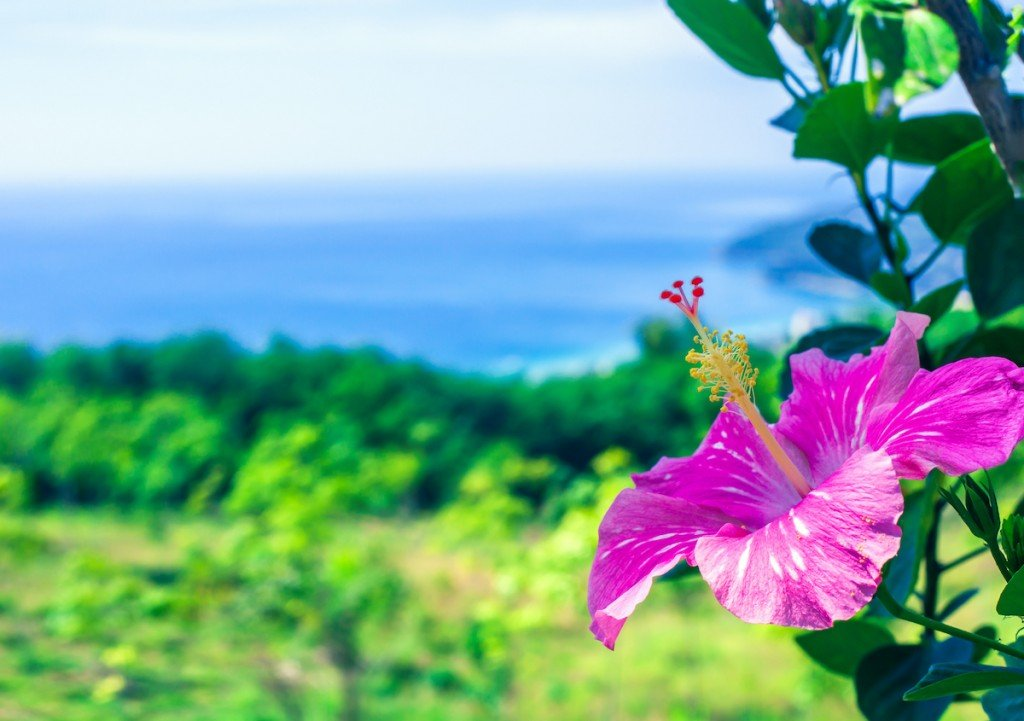 Pink Hibiscus Growing In Summer Garden Blue Sea Background