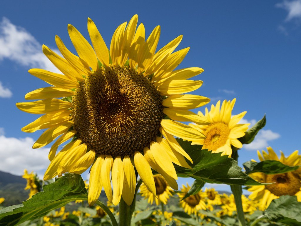 Alohafriday Hn1908 Dc Sunflowers 0428 1024x768